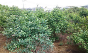 こじまファームのブルーベリーの木